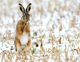 Возможность охотиться с собакой есть не у всех, но имеются надежные способы добычи зайца без собаки. Как охотиться на зайца без собаки с подхода?...