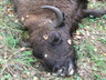 В Осиповичском районе незаконно застрелили  зубра