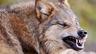 Волки из Чернобыля пугают сельских жителей