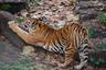 В Индии тигр съел семеро человек