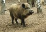 Популяция диких кабанов в Беларуси сократилась с 2013 года более чем на 90%