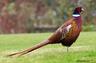 В Копыльском районе появится охота на фазана