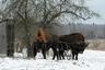 Зубры из Беловежской пущи выходят в деревни в поисках еды
