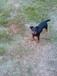 пропала собака немецкий ягдтерьер