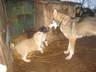 Продаю щенков восточно сибирской лайки