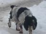 продаю щенки Русской спаниель