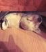 Прекрасные щенки лабрадора
