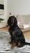 Продам щенков  Шотландского Сеттер Гордона