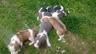 Породам и бронирую щенков
