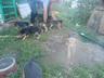 щенки русской гончей
