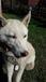 Найдена собака с глазами разного цвета