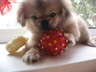 Продам щенка пекинеса
