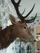 Голова оленя с рогами натуральная