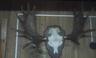 Продам рога оленя, лося, чучело кабана.