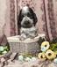 щенки английского кокер спаниеля чало-голубого окраса
