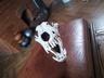 Продам череп волка с клыками