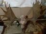 Куплю рога лося , оленя, лани . Струю бобра. 8-029-500-92-92 .