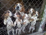 Продам щенков эстонские гончие.