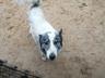 Найдена собака(лайка)
