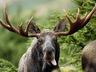 Куплю рога лося оленя Могилев и область