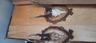 Череп и рога косули