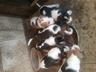Продам щенков эстонской гончай от рабочих дипломированых родителей по зайцу